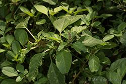 Amaranthus emarginatus Salzm. ex Uline & W.L. Bray