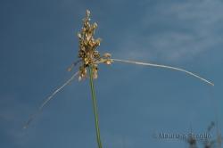 Allium oporinanthum Brullo, Pavone & Salmeri