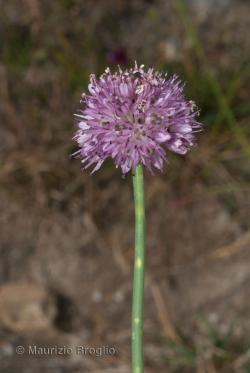 Allium strictum Schrader