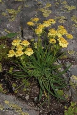Bupleurum stellatum L.
