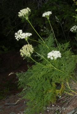 Laserpitium halleri Crantz