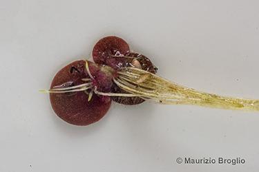Immagine 8 di 9 - Spirodela polyrhiza (L.) Schleid.