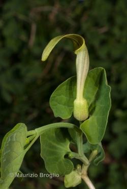 Aristolochia pallida Willd.