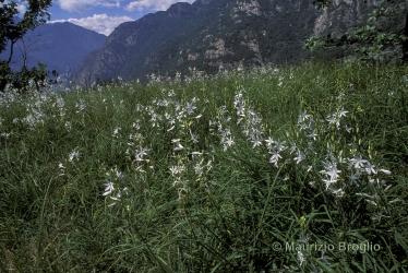 Immagine 1 di 4 - Anthericum liliago L.