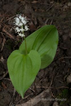 Maianthemum bifolium (L.) F.W. Schmidt