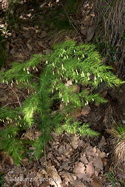 Asparagus tenuifolius Lam.