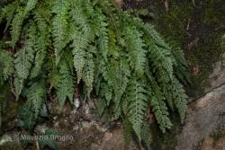 Asplenium fontanum (L.) Bernh.