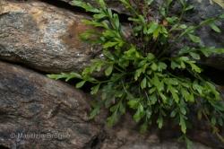 Asplenium x alternifolium Wulfen