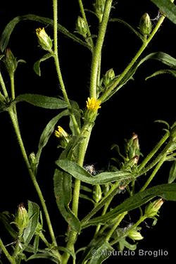 Dittrichia graveolens (L.) Greuter