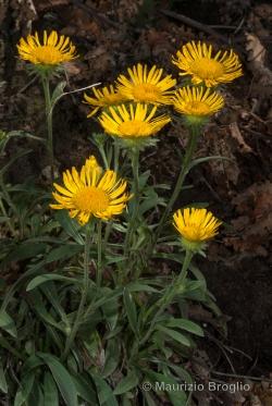 Inula montana L.