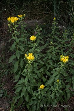 Inula spiraeifolia L.