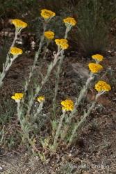 Immagine 1 di 6 - Achillea tomentosa L.