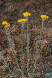 Immagine 2 di 6 - Achillea tomentosa L.
