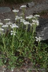 Immagine 3 di 8 - Achillea erba-rotta All.