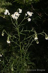 Immagine 2 di 6 - Achillea ptarmica L.