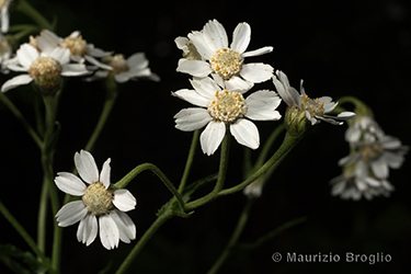 Immagine 4 di 6 - Achillea ptarmica L.