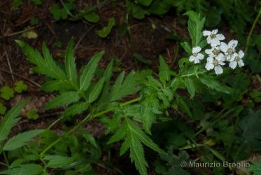 Immagine 1 di 3 - Achillea macrophylla L.