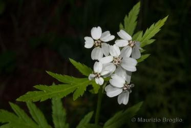 Immagine 3 di 3 - Achillea macrophylla L.