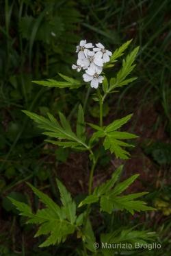 Achillea macrophylla L.