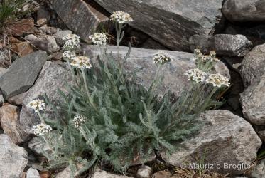 Immagine 1 di 4 - Achillea nana L.