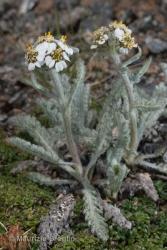 Immagine 4 di 4 - Achillea nana L.