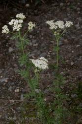 Immagine 1 di 3 - Achillea nobilis L.