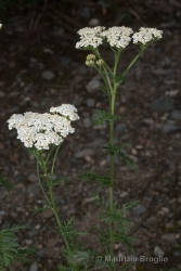 Immagine 2 di 3 - Achillea nobilis L.