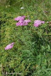Immagine 1 di 2 - Achillea distans Waldst. & Kit. ex Willd.