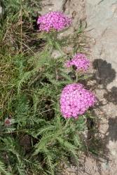 Immagine 2 di 2 - Achillea distans Waldst. & Kit. ex Willd.