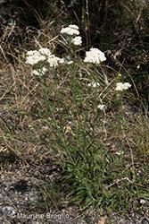 Immagine 1 di 7 - Achillea setacea Waldst. & Kit.