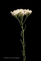 Immagine 3 di 7 - Achillea setacea Waldst. & Kit.