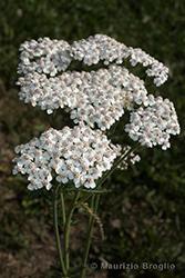 Immagine 2 di 6 - Achillea millefolium L.