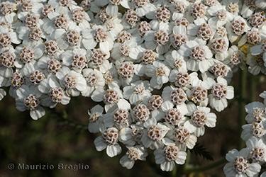 Immagine 3 di 6 - Achillea millefolium L.