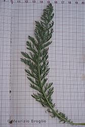 Immagine 6 di 6 - Achillea millefolium L.