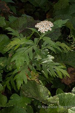 Tanacetum macrophyllum (Waldst. & Kit.) Sch. Bip.