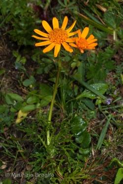 Jacobaea abrotanifolia (L.) Moench
