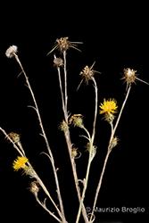 Immagine 1 di 11 - Centaurea solstitialis L.