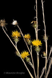 Immagine 2 di 11 - Centaurea solstitialis L.