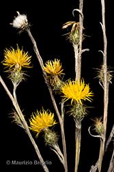Immagine 3 di 11 - Centaurea solstitialis L.