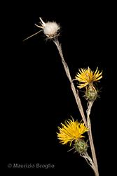 Immagine 4 di 11 - Centaurea solstitialis L.