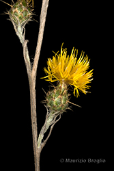 Immagine 5 di 11 - Centaurea solstitialis L.