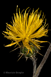 Immagine 6 di 11 - Centaurea solstitialis L.