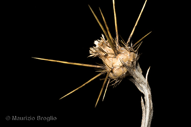 Immagine 8 di 11 - Centaurea solstitialis L.