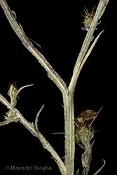 Immagine 10 di 11 - Centaurea solstitialis L.
