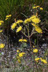 Immagine 2 di 15 - Pilosella piloselloides (Vill.) Soják