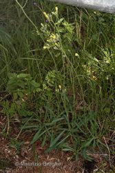 Immagine 5 di 15 - Pilosella piloselloides (Vill.) Soják