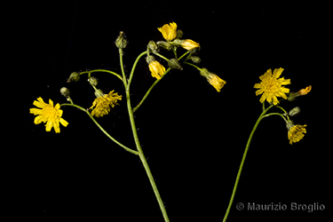 Immagine 8 di 15 - Pilosella piloselloides (Vill.) Soják