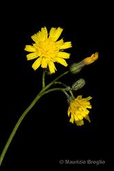 Immagine 9 di 15 - Pilosella piloselloides (Vill.) Soják