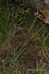 Immagine 10 di 15 - Pilosella piloselloides (Vill.) Soják
