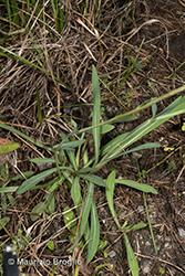 Immagine 14 di 15 - Pilosella piloselloides (Vill.) Soják